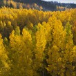 Golden Aspen Trees — Stock Photo