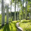 Hiking trail through Aspen Tree — Stock Photo