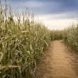 Fall cornfield — Stock Photo