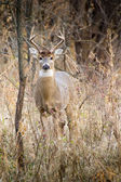 White Tail Buck — Stock Photo