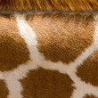 Close up pattern of a Giraffe's neck  — Stock Photo