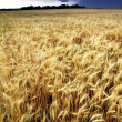 Yellow wheat field — Stok fotoğraf