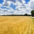 Yellow wheat field — Stock Photo