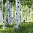 Grove of Aspen Trees — Stock Photo
