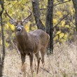 White Tail Buck — Photo