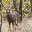 White Tail Buck — Foto Stock