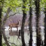 White Tail Deer wander carefully through flooded park — Stock Photo