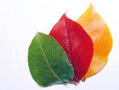 Diferetn colours leaves — Stock Photo