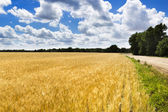Yellow wheat field — Stockfoto