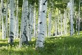 Grove of Aspen Trees — Stock Photo