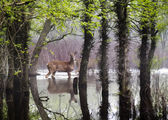 White Tail Deer wander carefully through flooded park — Stock Photo