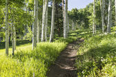 Summer hiking trail through Aspen Tree grove — Stock Photo
