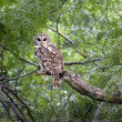 Stock Photo: Barred Owl