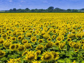 Sunflowers nearing harvest — Stock Photo