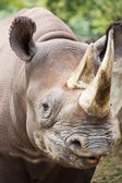 Baby Black Rhinoceros — Stock Photo