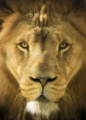 Close Up Portrait Of A Majestic Lion King of Beasts — Stock Photo