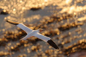 Northern Gannet flying above golden see — Stock Photo