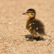 Small mallard or wild duck — 图库照片