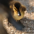 Small mallard or wild duck — Stock Photo