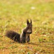 Brown squirrel on the grass — Stock Photo #35212905