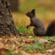 Brown squirrel in autumn — Stock Photo