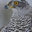 Northern Goshawk looking left — Stock Photo #35214411