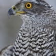 Stock Photo: Northern Goshawk looking left