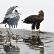 White-tailed Eagle with Grey Heron on boarder between ice and water — Stock Photo