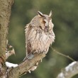 Long-eared Owl sitting on branch — Stock Photo #35214749