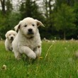 Golden retriever puppy running outdoor — Stock Photo