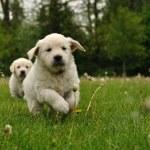 Golden retriever puppy running outdoor — Stock Photo #35215231