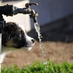 Curious Australian Shepherd aussie puppy — Stok fotoğraf