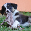 Australian Shepherd aussie puppy chew rag — Stock Photo