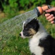 Wet AustraliShepherd aussie puppy — Stock Photo #35217021