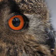 Eurasian Eagle Owl face — Stock Photo