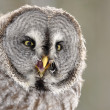 Great Grey Owl isolated portrait — Stock Photo