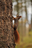 Red squirrel running on tree — Photo