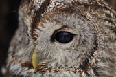 Tawny Owl face with one eye looking left — Stock Photo