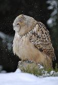 Eurasian Eagle Owl shaking head with snow — Stock Photo