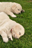 Two sleeping golden retriever puppies — ストック写真