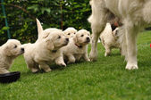 Puppies flocking after their mother — Stock Photo