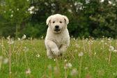 Cucciolo di golden retriever che corre tra i denti di Leone — Foto Stock