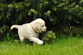Golden retriever puppy playing with coniferous tree — Стоковое фото
