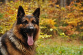 German shepard with autumn leaves in background — Stock Photo