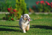 Australian Shepherd aussie puppy — Stock Photo