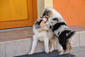 Australian Shepherd aussie puppies in game — Stock Photo