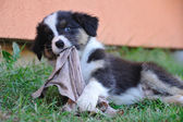 Australian Shepherd aussie puppy chew rag — Stock Photo