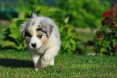走澳大利亚牧羊犬幼犬 — 图库照片
