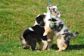 Australian Shepherd aussie puppies playing with toy — Stock Photo