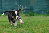 Australian Shepherd aussie puppy running on the grass — Stock Photo